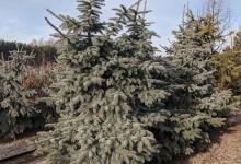 Picea pungens 'Moerheim' B 250-300