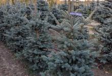 Picea pungens 'Oldenburg' B 175-200