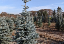 Picea pungens 'Omega' B 200-250