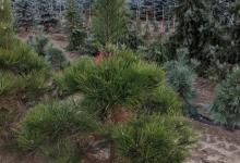 Pinus nigra B 150-175