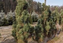 Pinus sylvestris 'Fastigiata' B