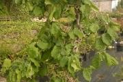 Corylus avellana 'Contorta' C20 125-150