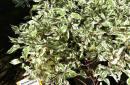 Liściaste sadzonkowane C3