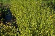 Kerria japonica 'Pleniflora' C3 30-40