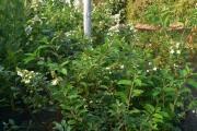 Hydrangea paniculata 'Kyushu' C7,5 40-60
