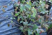 Viburnum plicatum 'Grandiflorum' C5 30-40