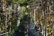 Fagus sylvatica 'Dawyck Purple' C5 125-150