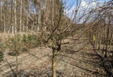 Acer campestre 'Nanum' B