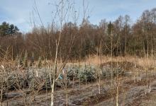 Betula utilis 'Doorenbos' B 10-12