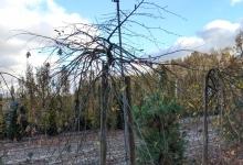 Carpinus betulus 'Pendula' B 14-16