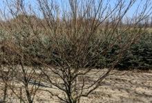 Fagus sylvatica 'Aspeniifolia' B