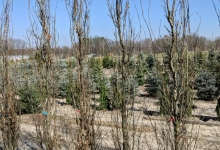 Quercus robur 'Fastigiata' B
