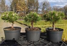 Pinus mugo 'Benjamin' C2