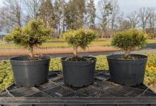 Pinus mugo 'Grüne Welle' C2