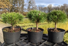 Pinus mugo 'Hnízdo' C2
