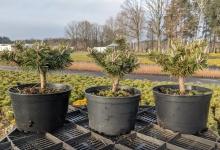 Pinus mugo 'Humpy' C2