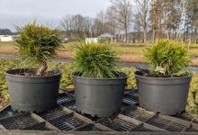 Pinus mugo 'Varella' C2