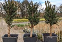 Picea abies 'Cupressina' P15
