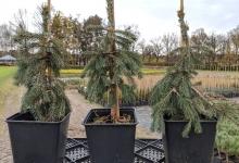 Picea glauca 'Pendula' P15