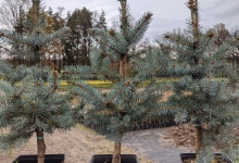 Picea pungens 'Edith' P15
