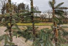 Picea pungens 'Maciek' P15