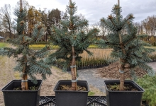 Picea pungens 'Oldenburg' P15