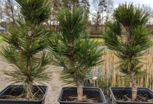 Pinus heldreichii 'Dolce Dorme' P15