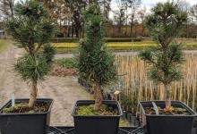 Pinus mugo 'Columbo' P15