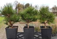 Pinus nigra 'Helga' P15