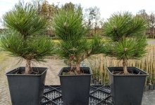 Pinus nigra 'Hornibrookiana' P15