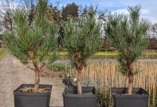 Pinus sylvestris 'Watereri' P15
