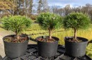 Conifers grafted C2