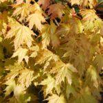 Acer platanoides 'Golden Globe'