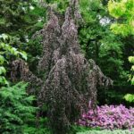Fagus sylvatica 'Purple Fountain'