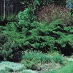 Juniperus pfitzeriana 'Pfitzeriana'