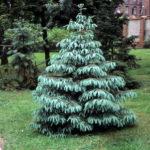 Picea engelmannii 'Glauca'