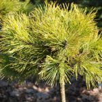 Pinus mugo 'Little Goldstar'