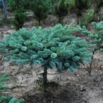 Abies koreana 'Bonsai Blue'
