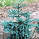 Picea glauca 'Coerulea'