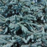 Picea obovata var. glauca