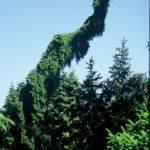 Picea omorika 'Pendula Kuck'