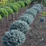 Picea pungens 'Blaukissen'