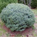 Picea pungens 'Brynek'