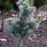 Picea pungens 'Mecky'