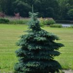 Picea pungens 'Sonja'