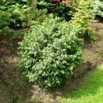 Picea sitchensis 'Nana'