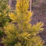 Pinus cembra 'Aureovariegata'
