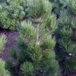 Pinus heldreichii 'Malinki'