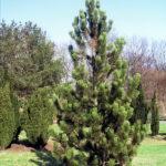 Pinus heldreichii 'Satellit'
