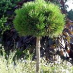 Pinus heldreichii 'Smidtii'